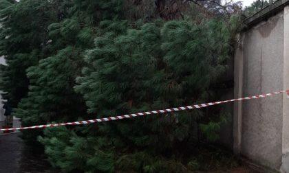Albero caduto a Dairago: arriva la Protezione civile FOTO