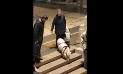 Maiale al guinzaglio in Stazione Centrale: il VIDEO diventa virale