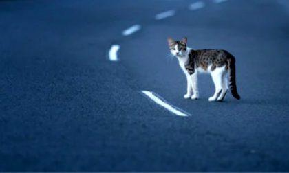 Se il gatto provoca un incidente, Serravalle non è responsabile