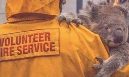 Incendi in Australia, Tradate scende in campo: calze e garze per koala e canguri