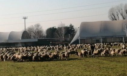 Pogliano si è svegliata con un gregge di pecore sotto le finestre
