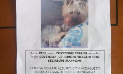 Aiutateci a ritrovare Pepe, cucciolo di York Toy