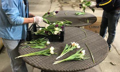 Villa Arconati - Far regala tulipani ai volontari
