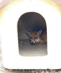 Trovano una volpe nella cuccia dei loro cani in giardino