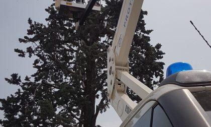 Sciame di 6mila api in cima all'albero, recuperato dalla Protezione civile FOTO
