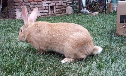 La Lav salva un coniglio da un allevamento casalingo FOTO