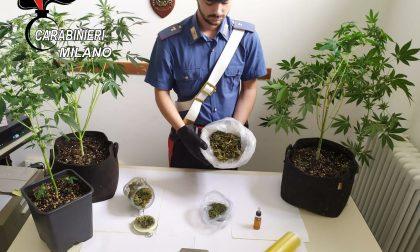 Garbagnate, serra di marijuana in casa: arrestato