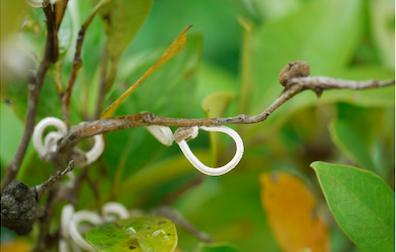 Un insetto orientale sulle piante legnanesi… cosa fare?