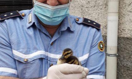 Anatroccoli si perdono in centro: salvati dalla Polizia locale FOTO