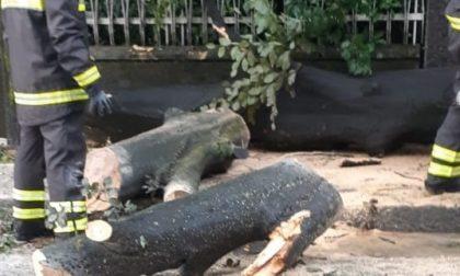 Cade un albero durante la maxi pioggia FOTO