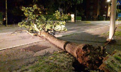 Cadono alberi nel Legnanese durante la notte con raffiche di vento FOTO