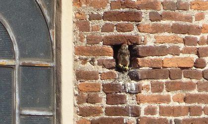 Coppia di falchetti nidifica sul campanile del Santuario
