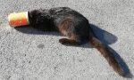 Testa incastrata nella lattina: gatto salvato dai vigili del fuoco FOTO