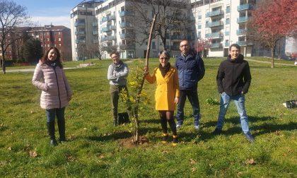 Rubata la mimosa piantata dal Comitato Parco della Repubblica