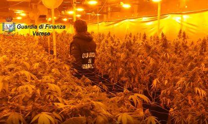 Sequestrate due serre di marijuana con oltre millesettecento piante FOTO