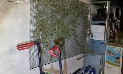Piante di cannabis in casa, tre arresti