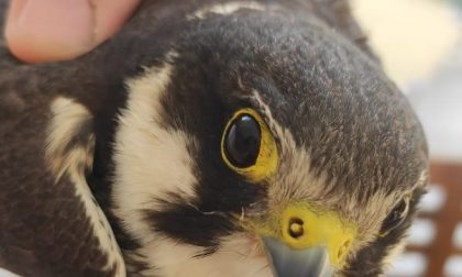 Piccolo falco salvato dalla Prociv dopo la caduta dell'albero