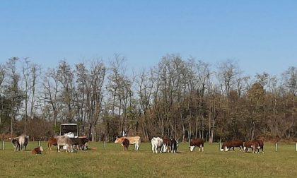 Mucche al pascolo a Legnano