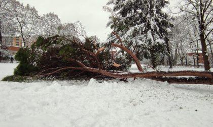 Crollo albero a Cornaredo, Laviani attacca