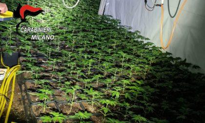 Aveva quasi 2000 piante di marijuana in un capannone, arrestato