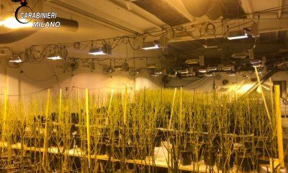 Serra artigianale con 950 piante di marijuana: arrestato il marito e denunciata la moglie
