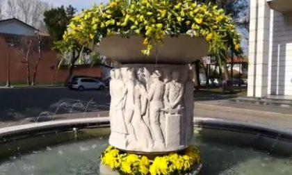 La fontana abbellita con mimose per la festa della donna