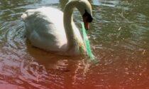 Cigno rischia ancora di soffocare con la plastica