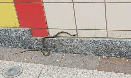 Serpentello acciuffato a Novate