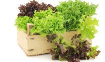 In edicola con i nostri settimanali i semi di lattuga