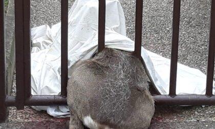 Capriolo resta incastrato tra le sbarre di un cancello