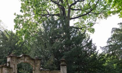Giovedì verrà abbattuta la quercia secolare in Villa Burba