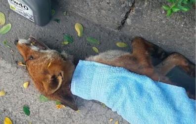 Volpe morta sul ciglio della strada: è stata strozzata da due lacci di ferro
