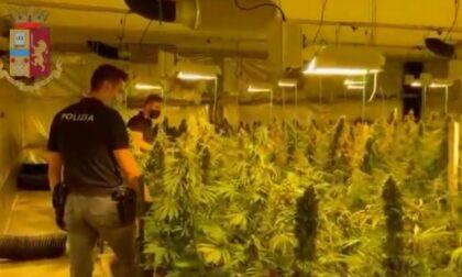 Maxi laboratorio con 60 chili di marijuana