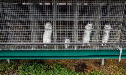 """Focolaio Sars-CoV2 in un allevamento di visoni a Cremona, Brambilla: """"Chiuderli e non riaprirli mai più"""""""